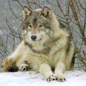 Волчица Волчица