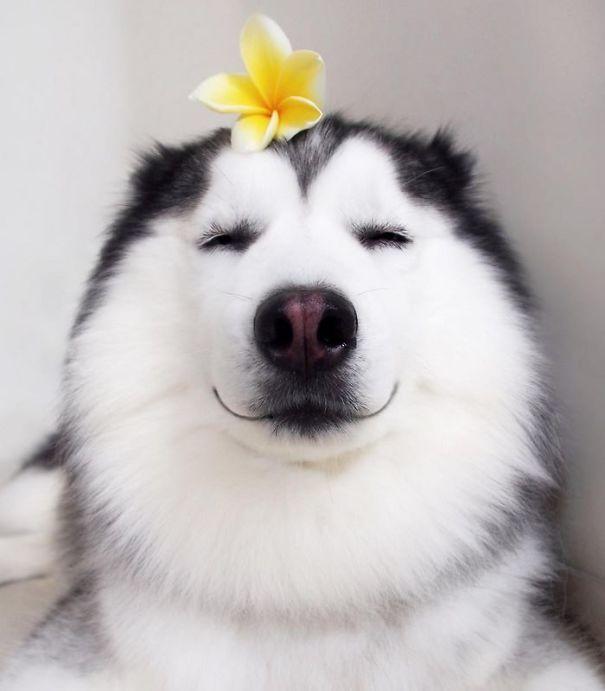 Смешные картинки собак хасок