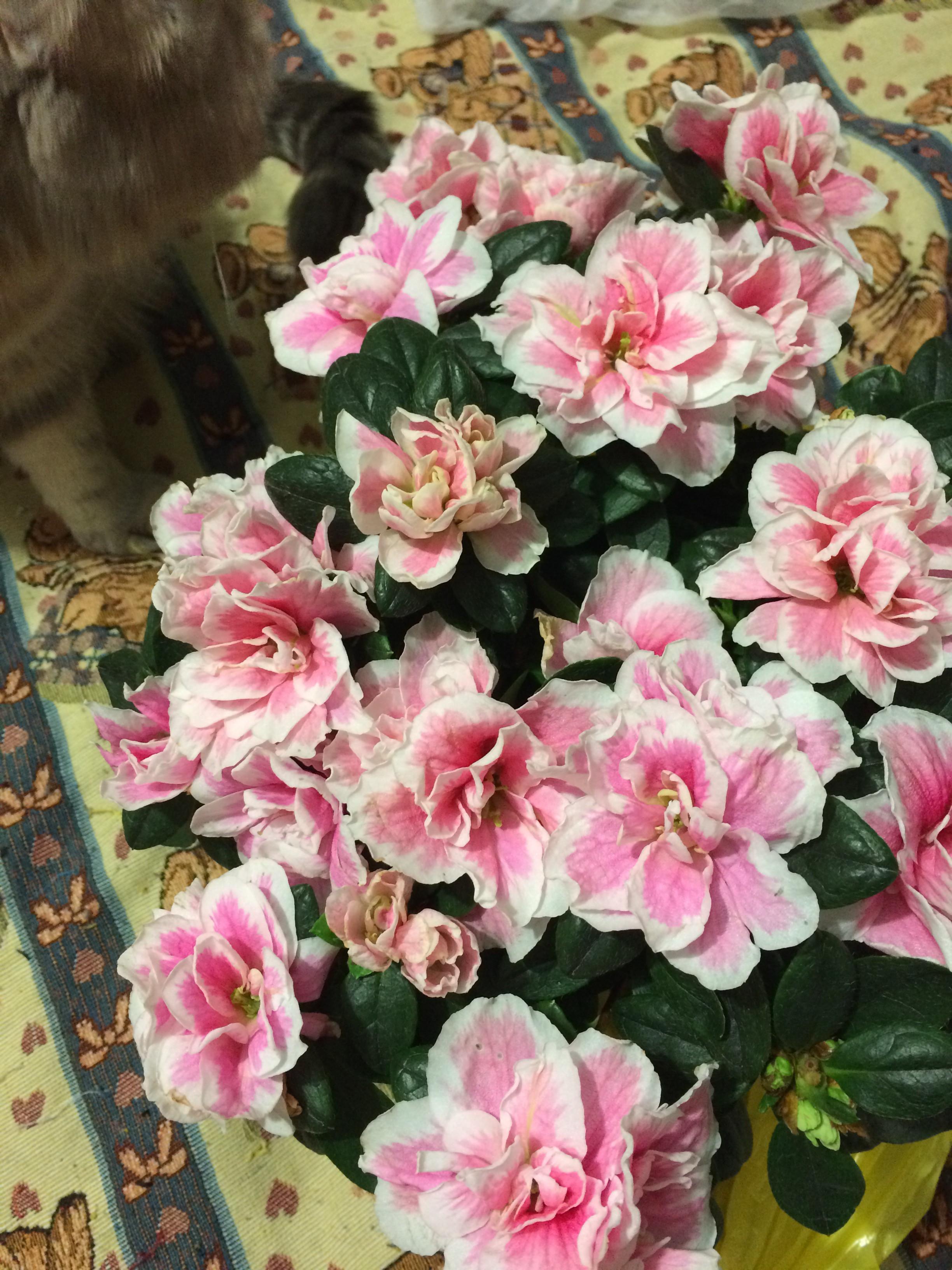 Цветы в томске с доставкой на дом азалия