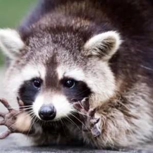 raccoon Department
