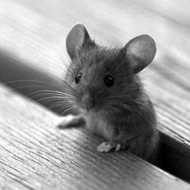 Картинка мышка серая