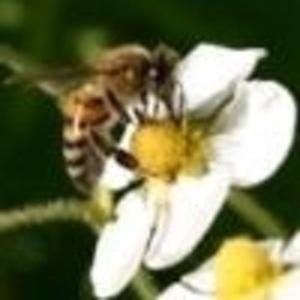 Терпеливый пчел