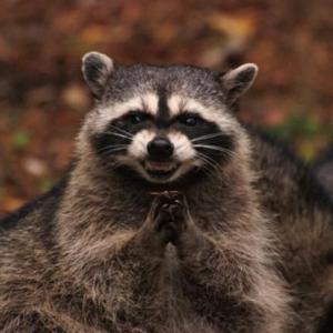 Cunning Raccoon