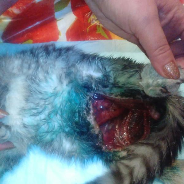Прикладываю фото, зрелище жуткое. Вот такой у меня сейчас кот после кастрации в клинике Доберман!!