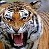 ОМ Тигр