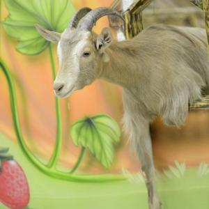 коза нагость которой впечатляет и влюбляет