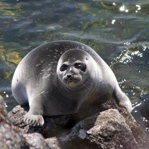 Толстый тюлень