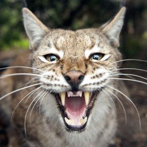 _Lynx_